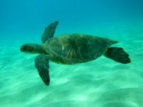 Try snorkeling in Vanuatu and see beautiful creatures like this turle.