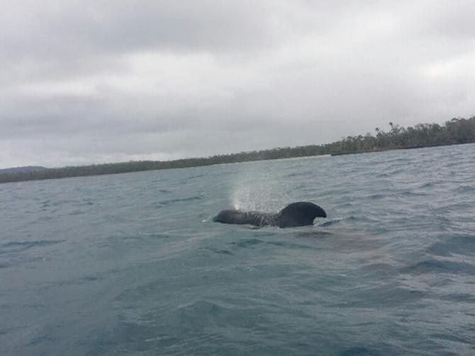 A Pilot Whale pays us a visit