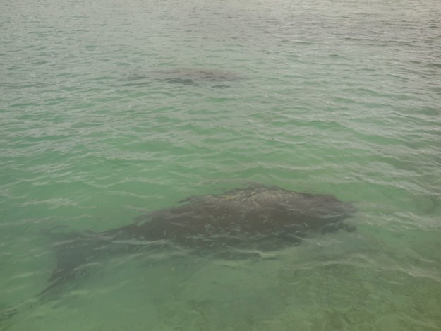 Dugongs loves the good patch of new sea grass under Eratap jetty
